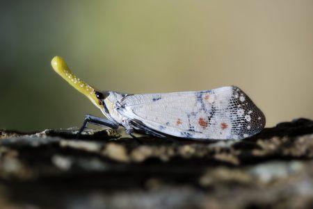cicada: cigarra nariz larga