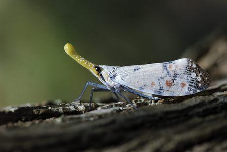 long nose: Long nose cicada