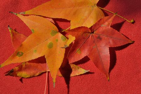 flaws: Red maple leaves