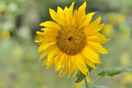 isolates: Bright colorful yellow sunflower. Shallow depth of field. Selective focus. Stock Photo