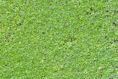duckweed: Nice green duckweed background and textures Stock Photo