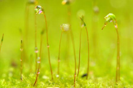 commune: Polytrichum commune Stock Photo