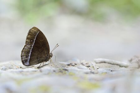 snake head: Butterfly from the Taiwan (Mycalesis francisca formosana) Little Snake Head butterfly