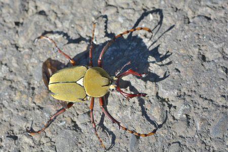 scarabaeidae: Antlers beetles, Scarabaeidae. In the early morning sun, Taiwan