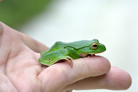 species: Green Treefrog (Rhacophorus moltrechti) is Taiwans endemic species