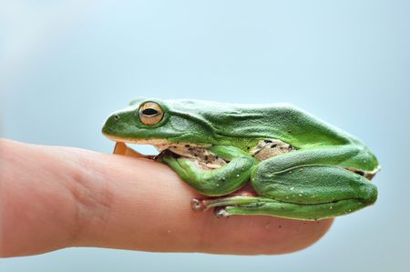 treefrog: Green Treefrog (Rhacophorus moltrechti) is Taiwans endemic species