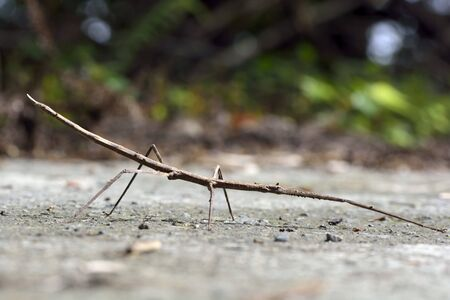 mandible: Stick insect - Phasmatodea, on the Taiwan.