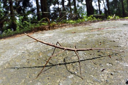 mimicry: Stick insect - Phasmatodea, on the Taiwan.
