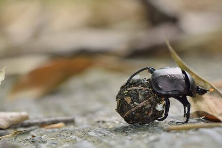 dung: A black dung beetle rolling a dung ball in a forest on Taiwan. Stock Photo