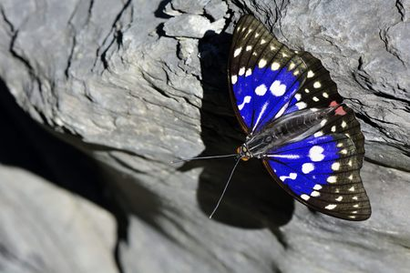 charonda: Butterfly from the Taiwan (Sasakia charonda) Large purple butterfly in water