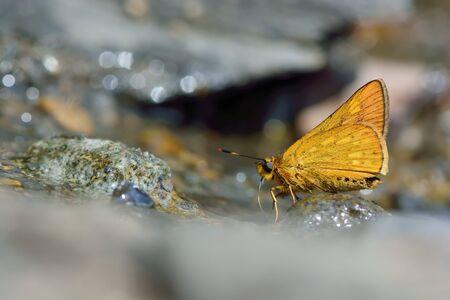 ochlodes: Butterfly from the Taiwan (Ochlodes formosanus) Taiwan ocher butterfly in water Stock Photo