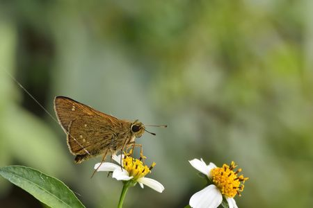 ochlodes: Butterfly from the Taiwan (Ochlodes niitakanus Sonan) Taiwan ocher skipper butterfly