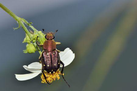 scarabaeidae: Flower beetles