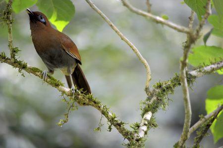 Bamboo Bird Garrulax poecilorhynchus Stock Photo