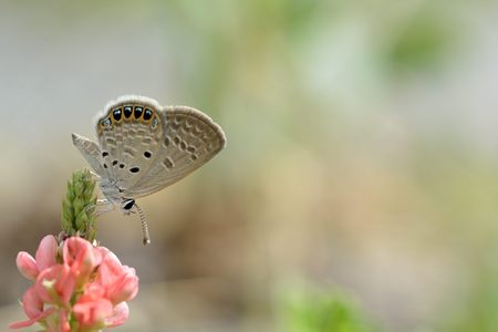 Butterfly from the Taiwan (Freyeria putli formosanus) Taiwan's smallest gray butterfly 版權商用圖片