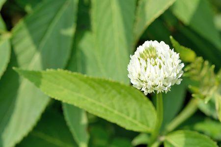 White Clover-Trifolium repens, Taiwan Stock Photo