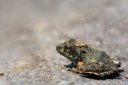 padding: Japanese tree frogs (Buergeria japonica)