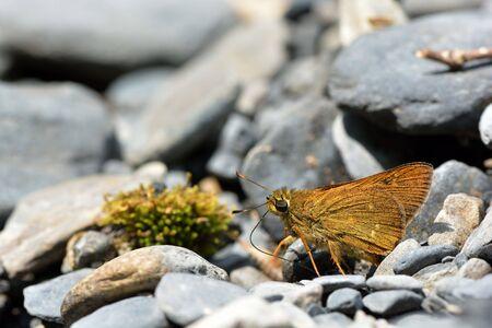 Butterfly from the Taiwan (Ochlodes niitakanus) Taiwan ocher butterfly Stock Photo
