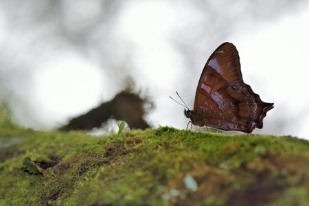 Butterfly from the Taiwan (Zohpoessa dura neoclides) White tail shade butterfly Stock Photo
