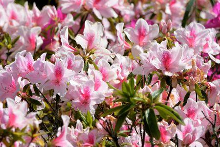 lantana: Pink Peach Azalea Blooms, in the Taiwan