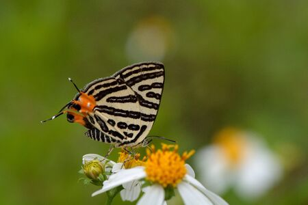 background pattern: Butterfly from the Taiwan (Spindasis syama) Three spotted tiger butterfly