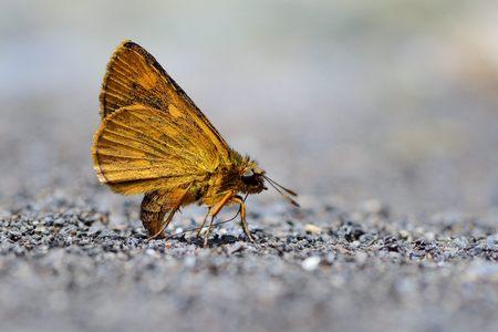 Butterfly from the Taiwan (Ampittia virgata myakei Matsumura) Yellow star butterfly