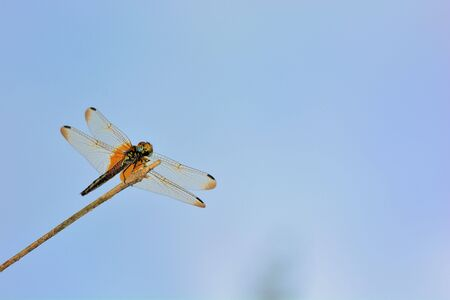 Dragonfly: Crimson Dropwing (Trithemis aurora) Stock Photo