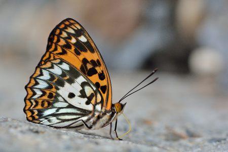 蝶 (Sephisa 決定) 台湾から水で Baiqun 黄斑蝶します。