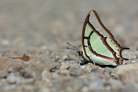 Butterfly from the Taiwan (Polyura narcaea meghaduta) Small two tail butterfly in water Stock Photo