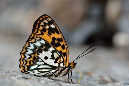 Baiqun 黄斑蝶 (Sephisa 決定) 台湾産蝶します。 写真素材