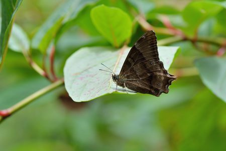 Butterfly from the Taiwan (Zophoessa dura) White tail butterfly