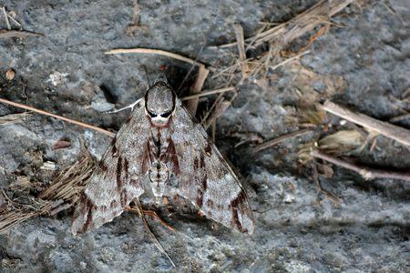 Taiwan moth (Meganoton analis gressitt)