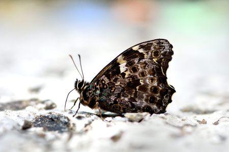 水で台湾 (Neope pulaha didia Fruhstorfer) 黄斑日陰蝶から蝶します。