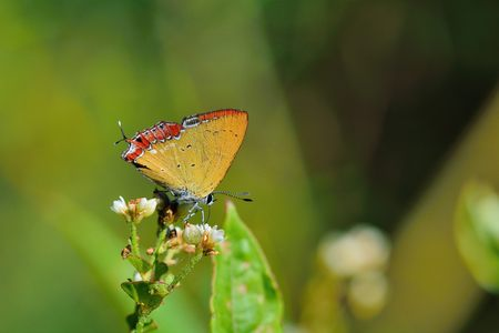 edge: Butterfly from the Taiwan (Heliophorus ila matsumurae) Red Edge yellow little butterfly Stock Photo