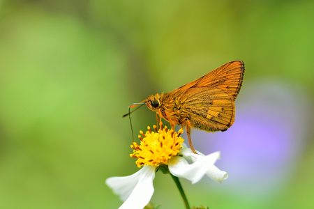 Butterfly from the Taiwan (Telicota ohara subsp. Formosana Fruhstorfer) Red Bamboo hesperiids butterfly