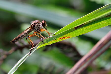 asilidae: Image of an robber fly (Asilidae) on a branch