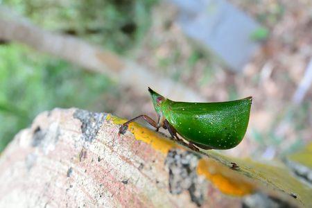 The close-up of Green Scoop Wax Cicada (Tonga Westwoodi)