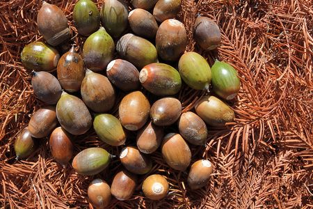 Ring-cupped Oak Seed (Quercus glauca seeds)