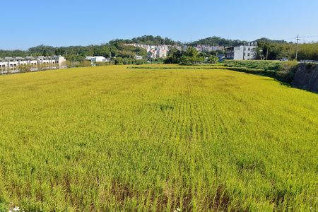 Lush green paddy in rice field, Winter and Autumn background in the Taiwan. Stock Photo