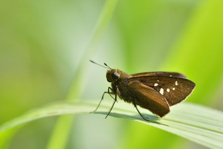 Butterfly from the Taiwan (Caltoris cahira austeni) Black lines hesperiids butterfly Stock Photo