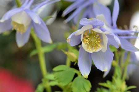 Columbine (Aguilegia vulgars), Fantasy grass flower.