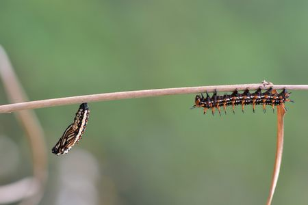 Butterfly larvae from the Taiwan (Acraea issoria formosana) Thin butterfly larvae & pupa. 写真素材