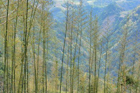 Taiwan Red Pine (Pinus taiwanensis Hayat) Stok Fotoğraf - 102795008