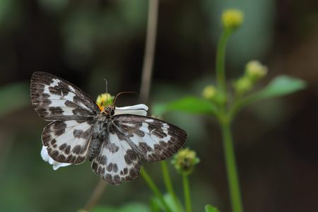 Butterfly from the Taiwan (Abraximorpha davidii) White skipper butterfly Stockfoto