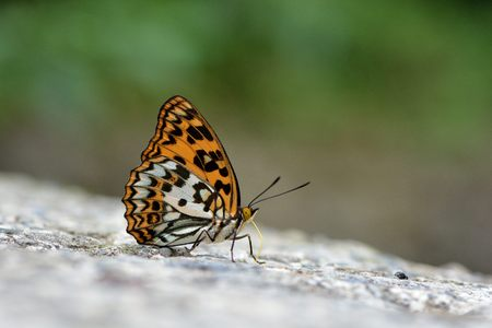 Butterfly from the Taiwan (Sephisa daimio) Baiqun macular butterfly in water