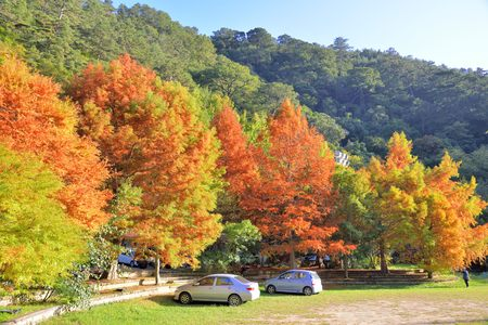 Colorful winter Bald Cypress tree (Wuling Farm in Taichung,Taiwan) Banco de Imagens