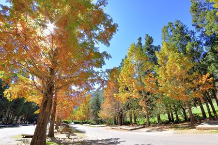 Colorful winter Bald Cypress tree (Wuling Farm in Taichung,Taiwan) 免版税图像