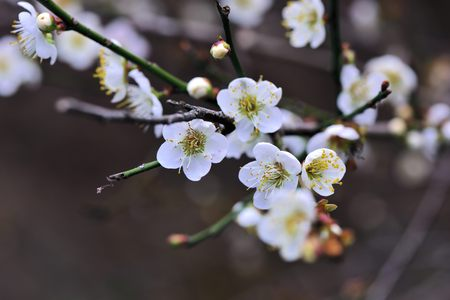 Plum blossoms bloom in winter. On the mountain, Taiwan Stock Photo