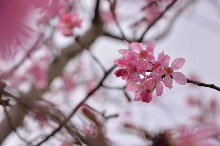 Blooming Showa Cherry Blossoms (Prunus 'Keio?zakura') in the mountains, Taiwan. 版權商用圖片