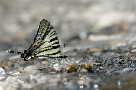 Butterfly from the Taiwan (Pazala eurous) Tailed Such as swords butterfly Stockfoto